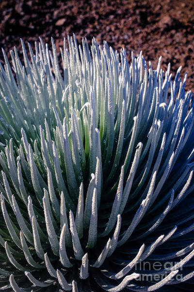 Photograph - Rare Silversword Plant In Haleakala National Park Maui Hawaii by Edward Fielding