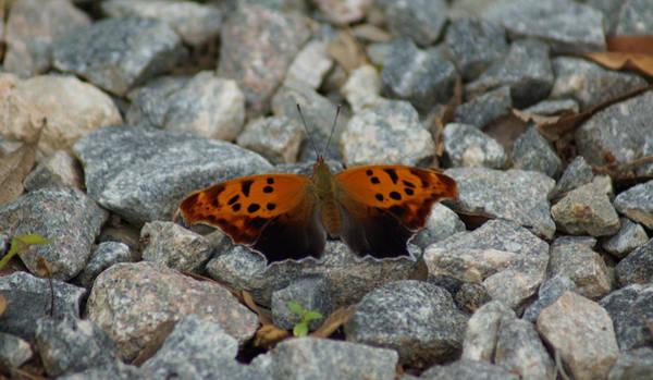 Photograph - Rarely-sighted Butterfly Species by Kim Pate