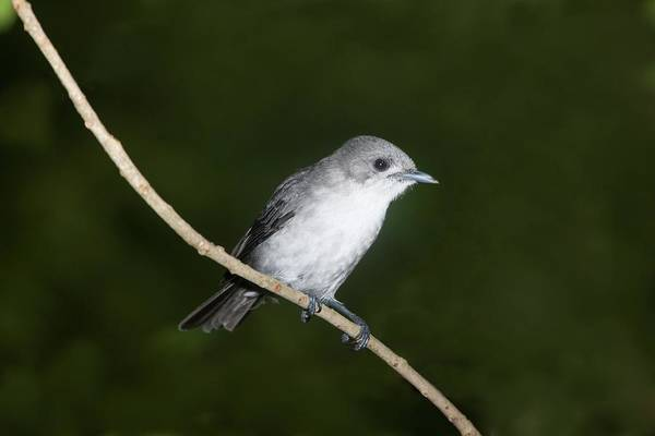 Rarotonga Photograph - Rarotonga Flycatcher Adult by Robin Bush