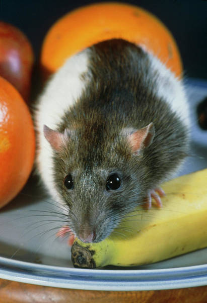 Wall Art - Photograph - Rat Exploring A Bowl Of Fruit by Adam Hart-davis/science Photo Library