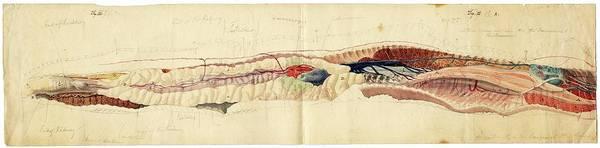 Rattlesnake Photograph - Rattlesnake Anatomy by American Philosophical Society
