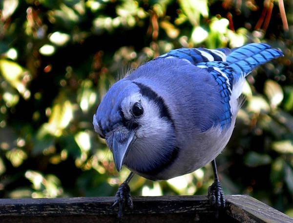 Wildbird Photograph - Raucous by Skip Willits