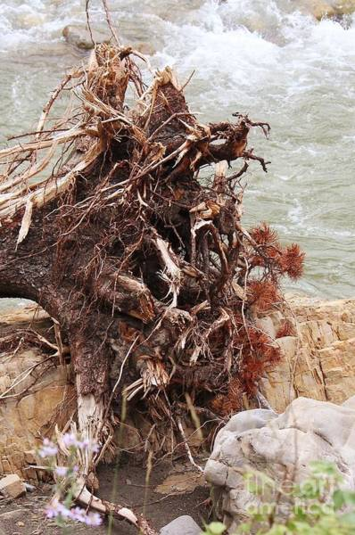 Photograph - Ravaged Roots by Ann E Robson