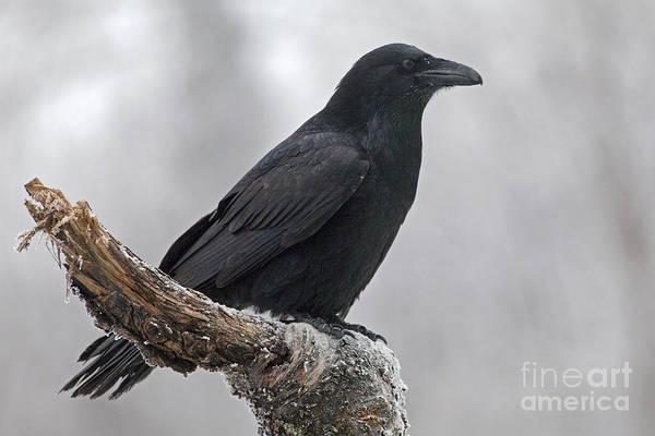 Corvidae Photograph - Raven In Profile by Tim Grams