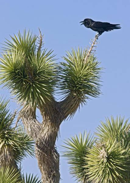 Yucca Palm Photograph - Raven On A Joshua Tree by Science Photo Library