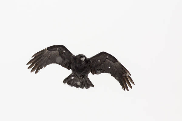 Wall Art - Photograph - Raven On A Snowy Day by Tim Grams
