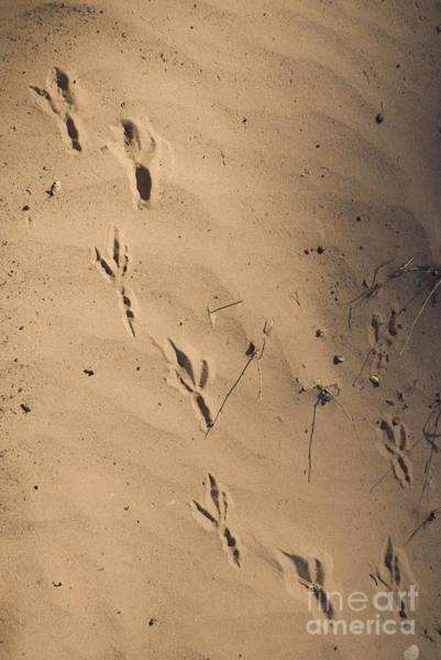 Photograph - Raven Tracks by Dan Suzio