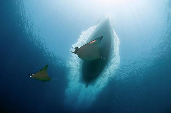 Wall Art - Photograph - Rays Below A Dive Boat by Scubazoo/science Photo Library