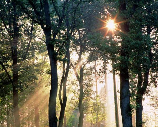 Shaft Wall Art - Photograph - Rays Of Sunlight Penetrate Woodland Trees by Martin Bond/science Photo Library