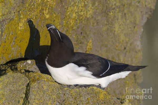 Squawk Photograph - Razorbill by John Shaw