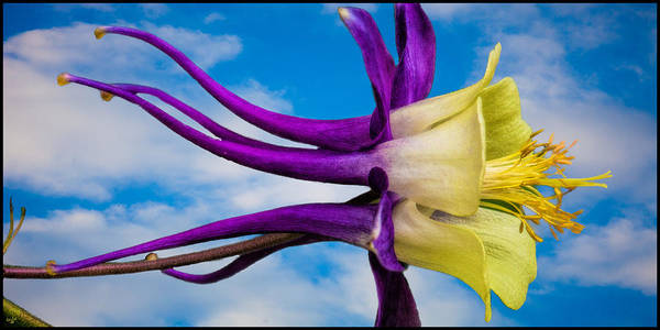 Photograph - Reach For The Sky Columbine by Chris Lord