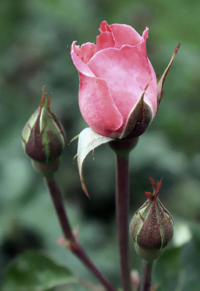 Manito Park Spokane Photograph - Reaching Pink Rose by Ellen Tully
