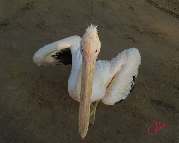 Photograph - Ready For A Dance Pelican Ask Me Sinai Egypt by Colette V Hera  Guggenheim
