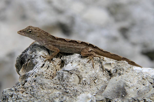 Brown Anole Wall Art - Photograph - Ready For Action by Doris Potter