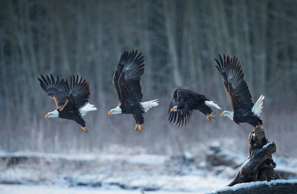 Flying Eagle Photograph - Ready, Go! by Katsu Uota