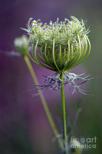 Purple Carrot Photograph - Ready To Burst 3 by Karen Adams