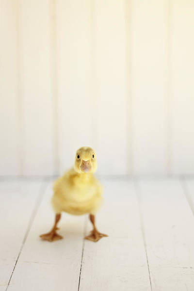 Ducks Photograph - Ready To Rumble by Amy Tyler