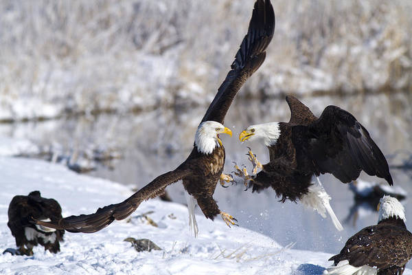 Wall Art - Photograph - Ready To Rumble by Bryant Aardema