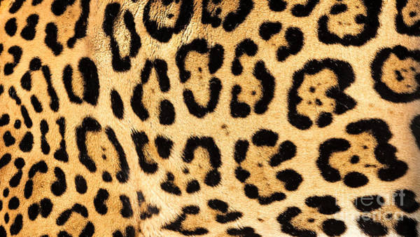 Orange Cat Photograph - Real Jaguar Skin by Sarah Cheriton-Jones