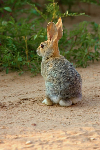 Cottontail Photograph - Rear View Of Desert Cottontail Rabbit by Animal Images