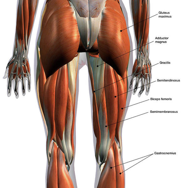 Wall Art - Photograph - Rear View Of Leg Muscles On White by Hank Grebe