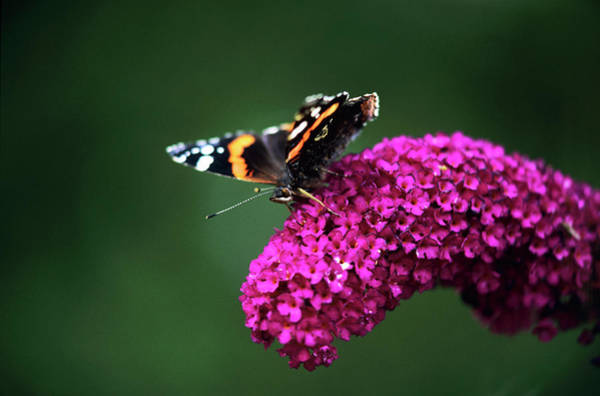Butterfly Bush Wall Art - Photograph - Red Admiral Butterfly by Simon Fraser/science Photo Library
