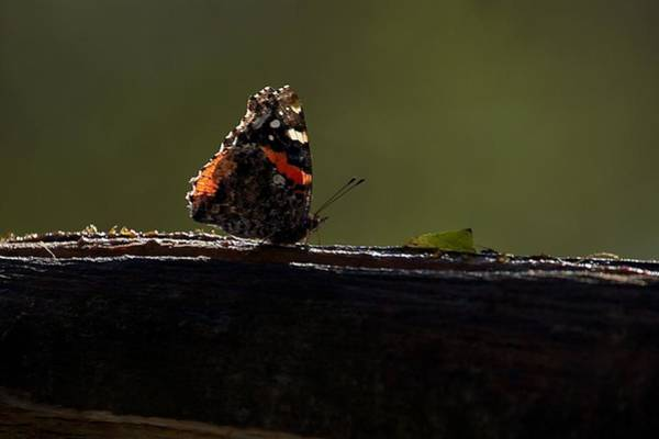 Photograph - Red Admiral Butterfly by Stuart Litoff