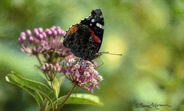 Drawing - Red Admiral On Swamp Milkweed by Bruce Morrison