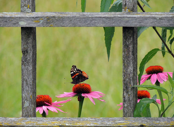 Wall Art - Photograph - Red Admiral by Teresa Schomig