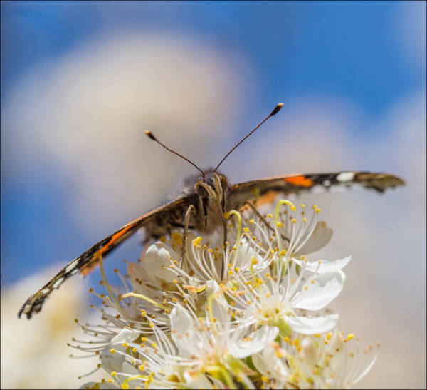 Photograph - Red Admiral Butterfly On Plum Blossoms by Steven Schwartzman