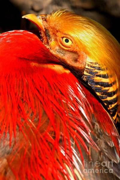 Photograph - Red And Golden Pheasant by Adam Jewell