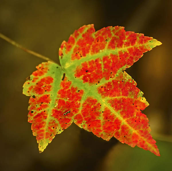 Photograph - Red And Green Leaf by Robert Mitchell