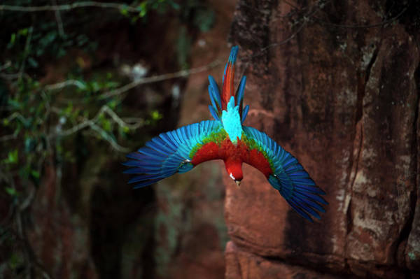 Macaw Photograph - Red-and-green Macaw Flying by Berndt Fischer