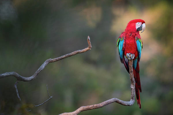 Macaw Photograph - Red-and-green Macaw Sitting On Branch by Sean Caffrey