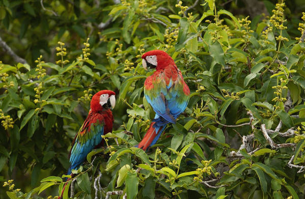 Photograph - Red And Green Macaws Pair Brazil by Pete Oxford