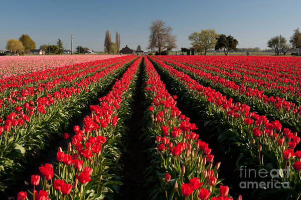 Vernon County Photograph - Red And Pink Tulip Fields by Jim Corwin