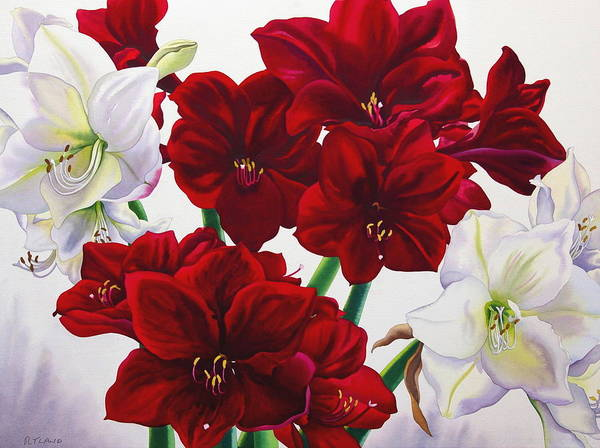 Amaryllis Painting - Red And White Amaryllis by Christopher Ryland
