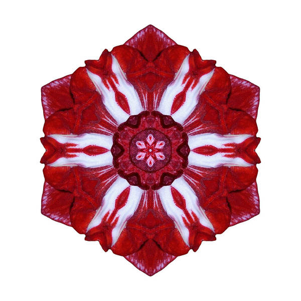 Photograph - Red And White Amaryllis Iv Flower Mandala White by David J Bookbinder