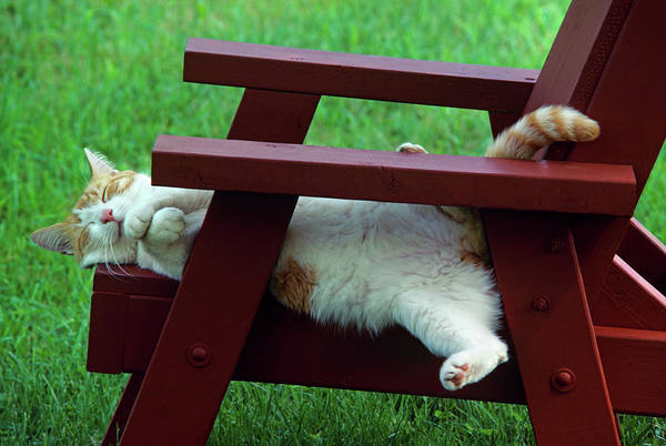 Orange Tabby Photograph - Red And White Tabby Cat Asleep On Chair by Vintage Images