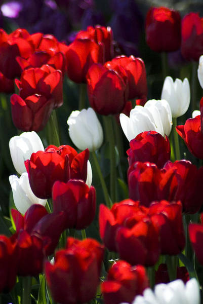 Photograph - Red And White Tulips by Yulia Kazansky