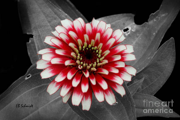 Photograph - Red And White Zinnia by E B Schmidt