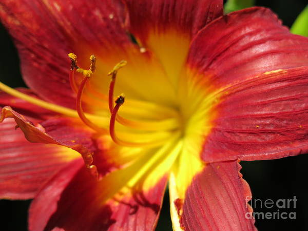 Red And Yellow Day Lily Art Print