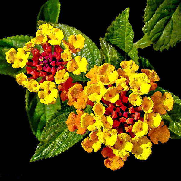Wall Art - Painting - Red And Yellow Lantana Flowers With Green Leaves by Bob and Nadine Johnston