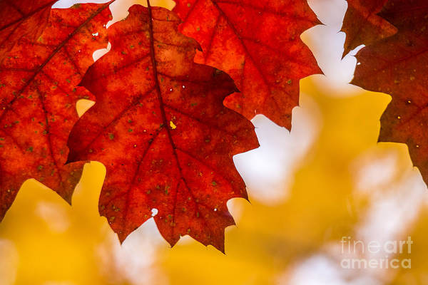 Wall Art - Photograph - Red And Yellow Leaves by Cheryl Baxter
