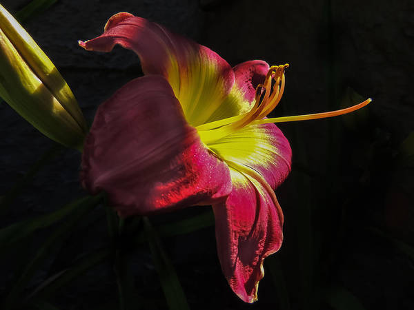 Photograph - Red And Yellow Lily by Robert Mitchell