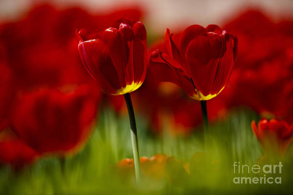 Bed Photograph - Red And Yellow Tulips by Nailia Schwarz