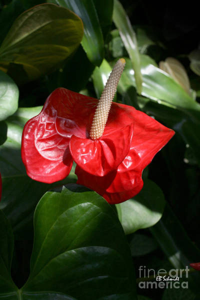 Photograph - Red Anthurium by E B Schmidt