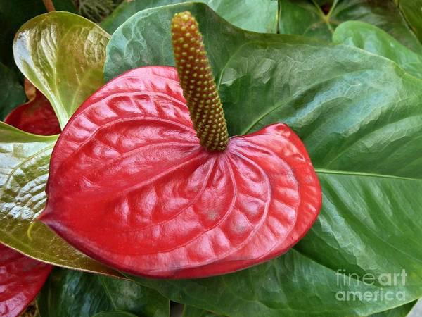 Photograph - Red Anthurium by Patricia Strand