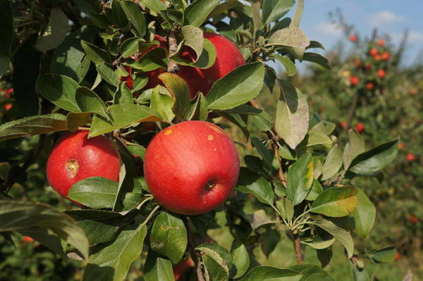 Photograph - Red Apple Growing On Tree by Artistic Panda