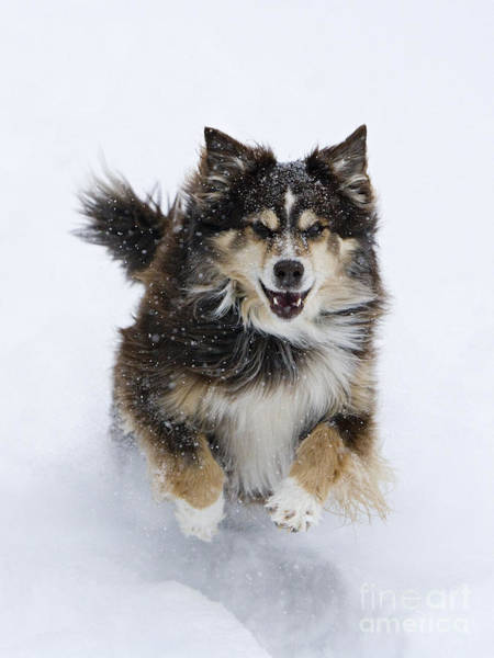 Dog Walker Photograph - Red Aussie Runs In The Snow by Carol Walker